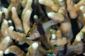 Girdled Cardinalfish Archamia zosterophora