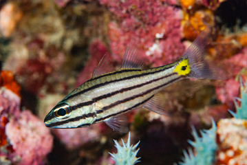 Split-Banded Cardinalfish Apogon compressus