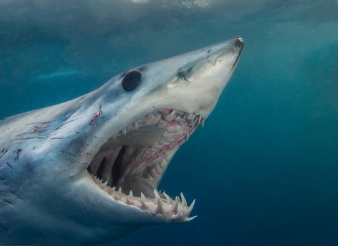 A Short Fin Mako Shark showing its pearly whites