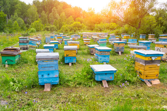 A lot of colorful hives made of wood in the form of boxes on an apiary in a field among green grass and trees with bees bringing pollen for honey with shining sun in the sky in the mountains of Altai
