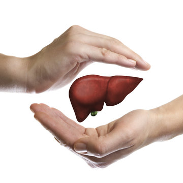 A human liver between two palms of a woman on  white isolated background. The concept of a healthy liver.