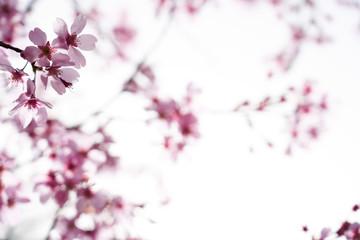 분홍색 벚꽃
