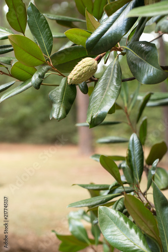 Seed Pods Of The Magnolia Tree Stock Photo And Royalty Free Images