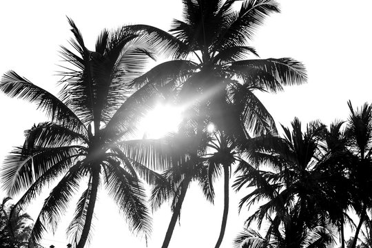 Palm trees black and white isolate