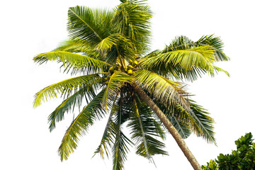 Palm tree on white background isolate
