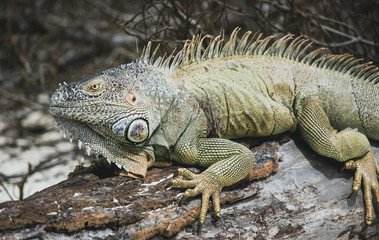 Iguanas during vacation in San Andres sharply focused to show their rugged features and skin patterns and individual personalities