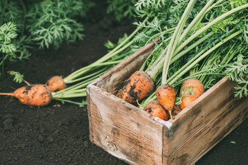 Organic carrots in a wooden box in the garden, farm food. Autumn