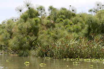 Papyrus Pflanzen (Cypercus papyrus)  im Naivasha See, Kenia, Ostafrika
