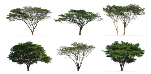 Wall Mural - Collection of Rain trees (Albizia saman) isolated on white background