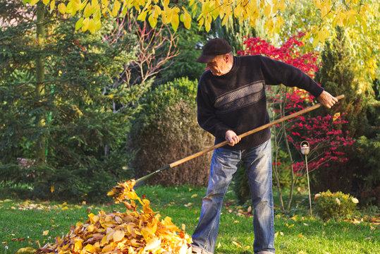 Gardener raking fallen leaves in garden at autumn