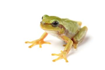 European tree frog (Hyla arborea) on white
