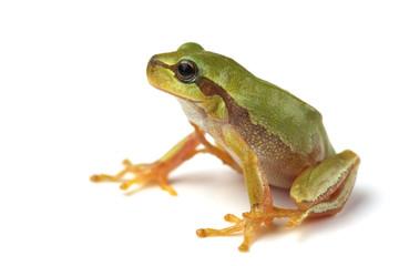 European tree frog (Hyla arborea) isolated on white