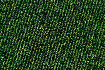 Aerial drone top view of cultivated corn field