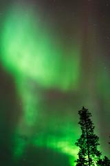 Aurora borealis, Northern lights, above treetops in Northern Finland.
