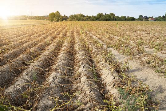 Ackerbau in Deutschland. Im heißen Sommer vernichtet die Trockenheit die angebauten Pflanzen. Die Pflanzen liegen vertrocknet in den Reihen auf dem ausgetrockneten, krustigen Erdboden.