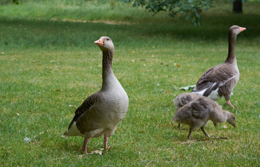 Couple of  greylag geese with two goslings in London Hyde Park