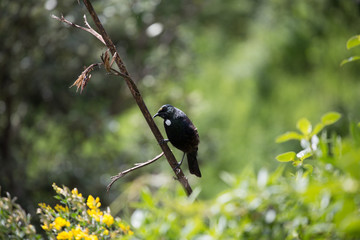 New Zealand Tui bird on a flax branch