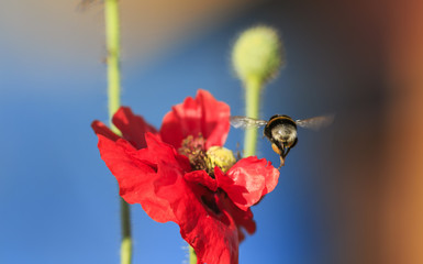 a small honey bumblebee flutters over a summer meadow with clear clear blue sky and red poppies in search of nectar