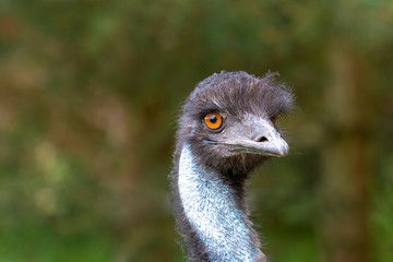 The head of an ostrich closeup on a blurred background.