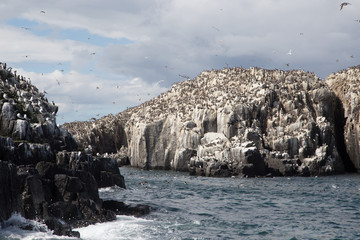 Guillemots on a rock in the Farne Islands 3