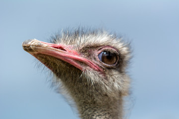 The head of an ostrich closeup on a blue background.