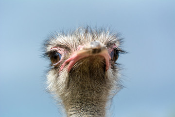 The head of an ostrich closeup on a blue background. Front view.