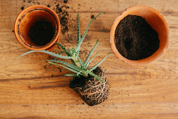 repotting plant. aloe vera with roots in ground repot to bigger clay pot indoors. care of plants. succulent on wooden background. gardening concept. flat lay