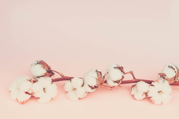 Raw cotton branch on pastel pink background, retro toned