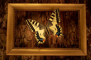 Papilio machaon in a frame on a tree bark