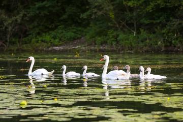 Close up of swan family in Jarun lake in Zagreb, Croatia.