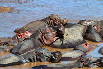 Close hippo or Hippopotamus amphibius in water