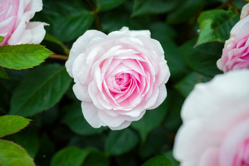 english shrub pink Olivia rose Austin