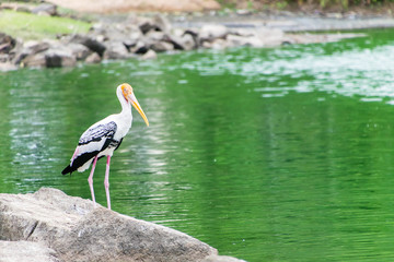 The white Painted Stork in the zoo.