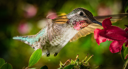Hummingbird visits the colorful garden