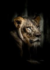 Lion, Fine art, animal, cat, wildlife, wild, mammal, predator, carnivore, feline, nature, zoo, fur, cub, , white, portrait, lion, head, big, striped, stripes, hunter, animals, fine art