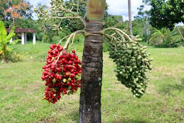 Manila palm raw seed on tree, Veitchia merrillii