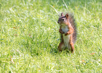 funny young red squirrel searching for food in park