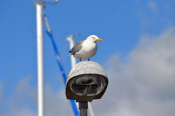 Seagull at lantern in the marina of the Swedish fishing town Stromstad