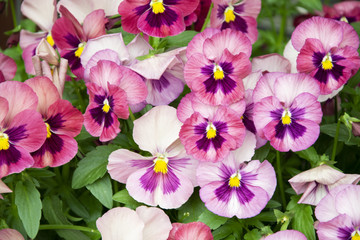 Pansy Flowers pink spring colors against a lush green background.