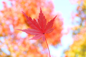 秋のモミジ