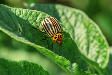 Colorado beetle on  leaves of potatoes in  garden.