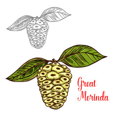 Great morinda or mulberry tropical fruit sketch