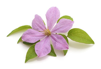 One flower of purple clematis.