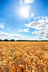 Wheat field with sun anb blue sky, Agriculture industry