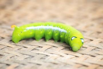 Closeup the Big green worm on tree, Giant green worm on treetop