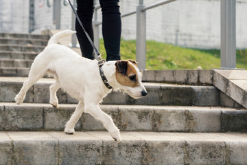 Dog Jack Rassell terrier for a walk in the park