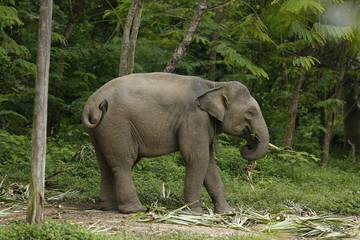 Thailand Elephants Roaming Free in Phitsanulok, Thailand.