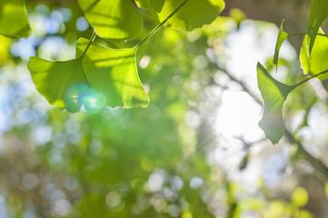 Green leaves of Gingko Biloba