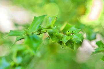 Ilex aquifolium closeup