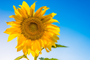 One sunflower and a blue sky on a sunny day